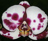 phal everspring star 9cm