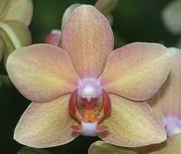 phal hawaii 6 cm