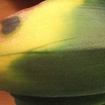 pyatno na falenopsise