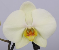 phalaenopsis Lemon-Pie
