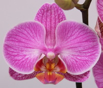 phalaenopsis Love-Letter