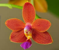 Phal I-Hsin Salmon Copper Star