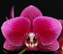 Phalaenopsis I-Hsin Fireball