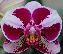 Phalaenopsis I-Hsin Panda 'KH6582-1'