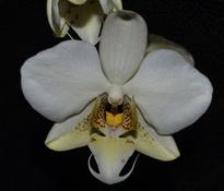 Phalaenopsis Louisiana Pixie