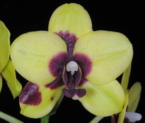 phal-lioulin-goldfinch-natsumi-00