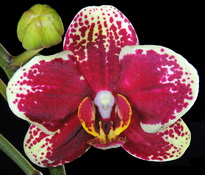 phal-little-priscilla
