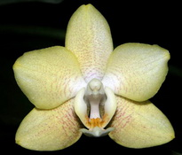 phalaenopsis LANCIANO