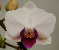 phalaenopsis little red lip