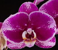 Doritaenopsis OX Spot Queen