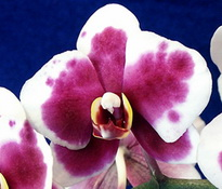 phal ombre rose