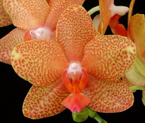 Phal  orchidheights Fireberry