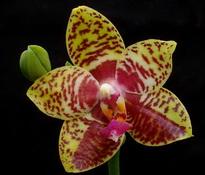 Phal. Orchid World 'Lenette'