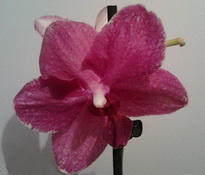 Phalaenopsis Mandy Grace1