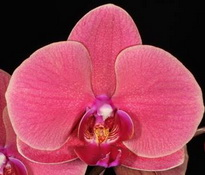 Phalaenopsis OX Golden Apple 'Coral'