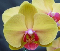 Phalaenopsis OX Golden Sands