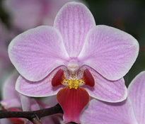 phal magic kiss 8cm