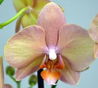 phalaenopsis Optimistic fantasy