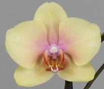 phalaenopsis malmo