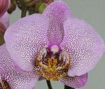 phalaenopsis manhattan