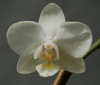 phalaenopsis_malta