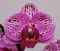 phalaenopsis Parade