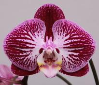 phalaenopsis Piano