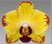 papagayo 7 cm