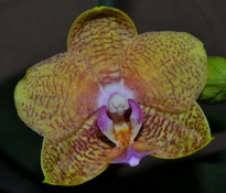 phalaenopsis perugia