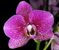 phal-purple-love