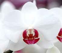 Phalaenopsis Queen of Heart
