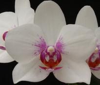 phalaenopsis-prima piano