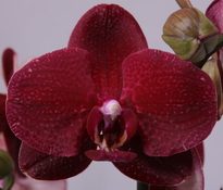 phalaenopsis Red Dream