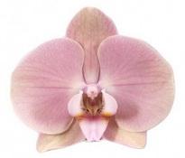 phalaenopsis Rome
