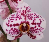phalaenopsisTattoo