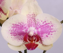 phalaenopsis Tropical-Dream