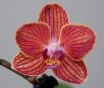 doritaenopsis_sogo_allen