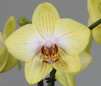phalaenopsis sun passat