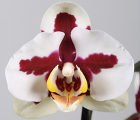 phal red cross