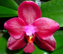 phal red hot imp 'pam'