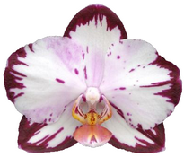 phalaenopsis the legend