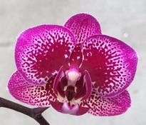 Doritaenopsis Yu Pin Burgundy