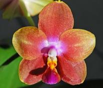 Phalaenopsis Zuma Aussie Delight