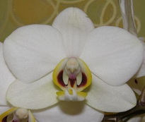 Phalaenopsis  Valencia