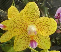 Phalaenopsis Yellow Queen 'Long Fong'