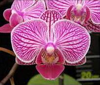 Phalaenopsis Younghome KaKa