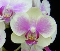 Phalaenopsis Younghome Pinkfly