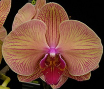 Phalaenopsis Younghome golden leopard