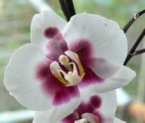 Phalaenopsis Yushan I Cash 'Panda'