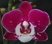 Phalaenopsis Yushan Pink Pearl